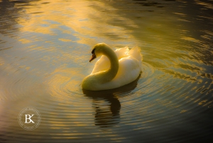Swan in the middle